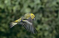 Erlenzeisig, Männchen im Flug, Flugbild, fliegend, Erlen-Zeisig, Zeisig, Carduelis spinus, Spinus spinus, siskin