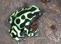 0930-07mm  Dendrobates auratus ñ Green and Black Arrow Frog ñ Green and Black Dart Frog  © David Kuhn/Dwight Kuhn Photography