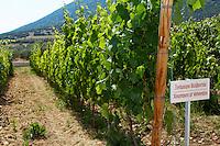 Vines. Xinomavro of Velvendos vine variety. Biblia Chora Winery, Kokkinohori, Kavala, Macedonia, Greece