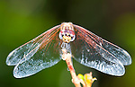 Close up Head on view of Dragonfly, Palmarium, Ankanin'ny Nofy, Madagascar, showing large eyes, wings resting,