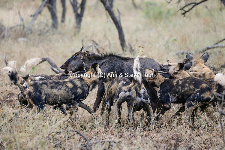 African wild dogs (Lycaon pictus) killing wildebeest calf (Connochaetes taurinus), Zimanga private game reserve, KwaZulu-Natal, South Africa, April 2017