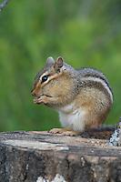 Eastern chipmunk