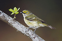 White-eyed Vireo, Vireo griseus, adult after rain, Uvalde County, Hill Country, Texas, USA, April 2006