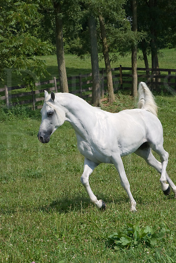 Picture of an Arabian horse running at liberty in green summer pasture.