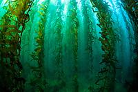 giant kelp, Macrocystis pyrifera, kelp forest grows on a rocky bottom near the Santa Barbara Island, Channel Islands National Park, California, USA, Pacific Ocean