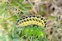Five Spot Burnet Larva - Zygaena trifolii