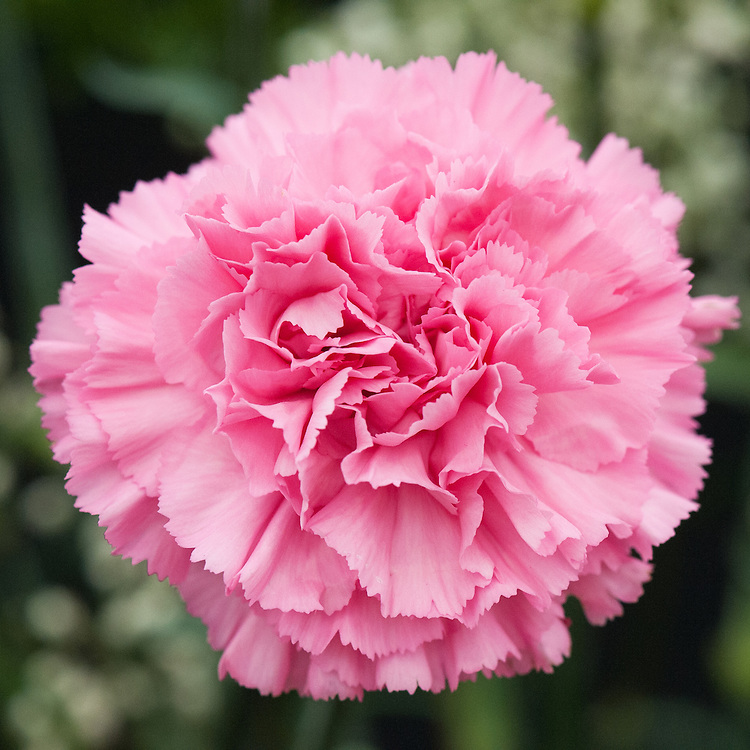 Dianthus 'Tabor', early July.