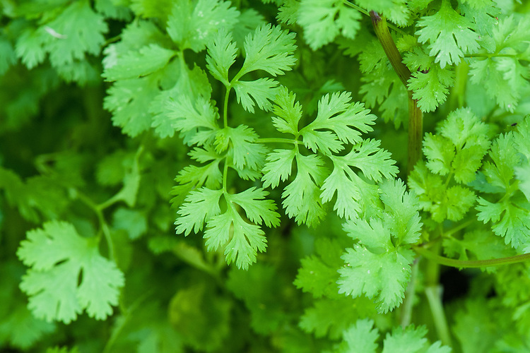 Coriander, early August.