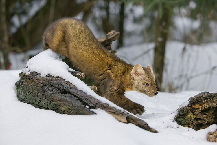 Pine Marten walking over a snow covered log - CA