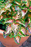 (Solenostemon) Coleus 'Wizard Coral Sunrise' in pot container