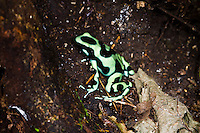 "Green and Black Poison Dart Frog (Dendrobates auratus, ""Darkland""), Darkland, Panama"