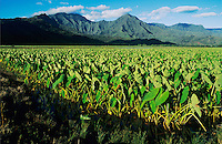 Taro Fields in Hanalei Valley, Kauai, Hawaii, USA