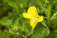 Gewöhnliche Nachtkerze, Oenothera biennis, Common Evening Primrose, Evening-Primrose, Evening star,  Sun drop, Onagre