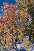 Quaking Aspen (Populus tremuloides) with new snow in Teton National Park Wyoming.