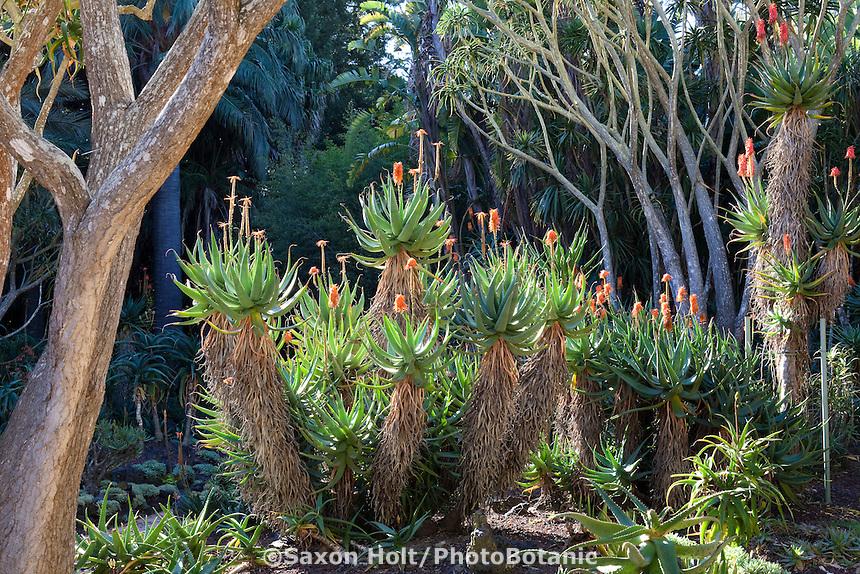 Orange flowering Aloe marlottii succulent in gardens at Lotusland