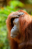 Orangutan at Semenggoh Wildlife Centre, Kuching, Sarawak, Malaysian Borneo