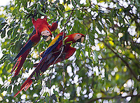 Corcovado is one of the last bastions for the scarlet macaw in Central America.
