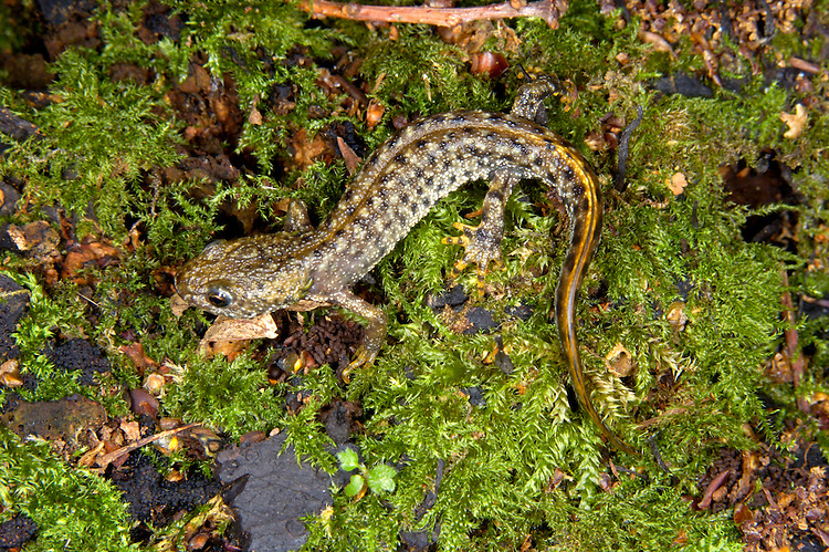 Great Crested Newt Triturus cristatus Length 14-16cm Britain's largest newt. Present in breeding ponds February-August. Adult is mainly blackish brown with variable dark spots and patches, and white-tipped warts. Underparts, from neck to vent, are orange-yellow with black spots; blackish throat has smallish orange-yellow spots. Breeding male develops large, jagged dorsal crest and undulating crest on tail; pale stripe runs along centre of tail. Female, non-breeding male and juvenile lack a crest and body is darker; note yellowish stripe along lower edge of tail. Scarce and local. Favours neutral to slightly alkaline, fish-free ponds that seldom dry up for breeding. Woods and scrub are used at other times. Protected by law in Britain and parts of Europe.