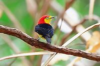 Rabo de arame<br /> Aves da Amazônia.<br /> Roraima, Brasil.<br /> Foto Jorge Macedo