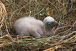 Griffon Vulture chick in nest. Sierra Crestallina, Andalucia,Spain