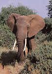 African elephant at Samburu National Park