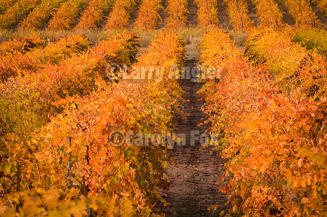 A red wine grape vineyard turns orange and scarlett during autumn, Shenandoah Valley, Amador Co., Calif...Karmère Winery
