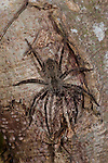 Huntsman spider. Heteropoda sp, Panama, Central America, Gamboa Reserve, Parque Nacional Soberania, on tree trunk in forest