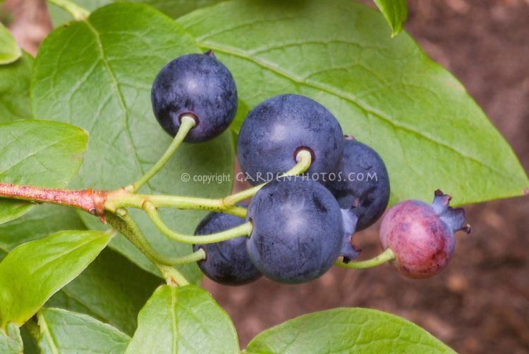 Blueberries 'Delicious' Vaccinium corymbosum fruit closeup