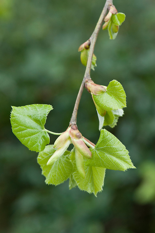 Tilia tomentosa 'Chelsea Sentinel', a columnar variety of the European white lime, mid April. Sometimes known as Chelsea lime because it was discovered as a single seedling specimen in the grounds of The Royal Hospital, Chelsea; the original tree was destroyed by the hurricane in October 1987.