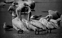 While Pelicans, Photographed on TMAX 3200 black and white film, Merritt Island, Florida, 1995, (Photo by Brian Cleary/bcpix.com)