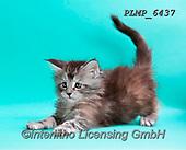 Marek, ANIMALS, REALISTISCHE TIERE, ANIMALES REALISTICOS, cats, photos+++++,PLMP6437,#a#, EVERYDAY
