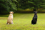 Golden labrador and mixed breed sitting together.