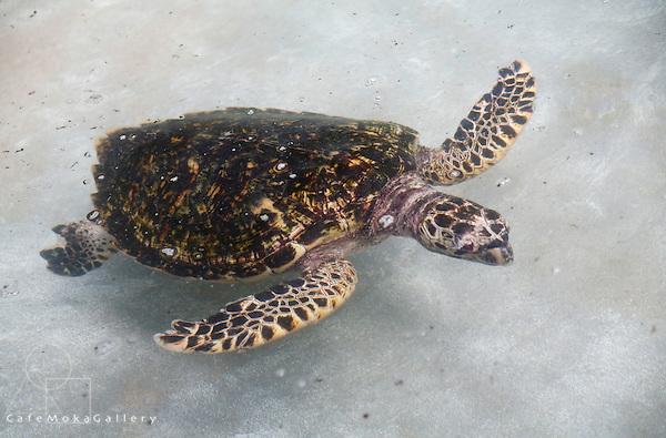 Hawksbill turtle swimming, endangered species