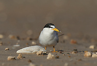 Least Tern (Sterna antillarum), adult with sea shell, Port Isabel, Laguna Madre, South Padre Island, Texas, USA