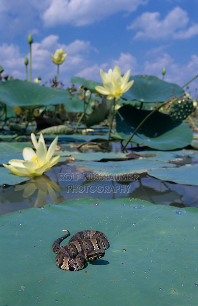 Western Cottonmouth, Agkistrodon piscivorus leucostoma, young sunning on American Lotus(Nelumbo lutea) lily pad, Welder Wildlife Refuge, Sinton, Texas, USA, June 2005