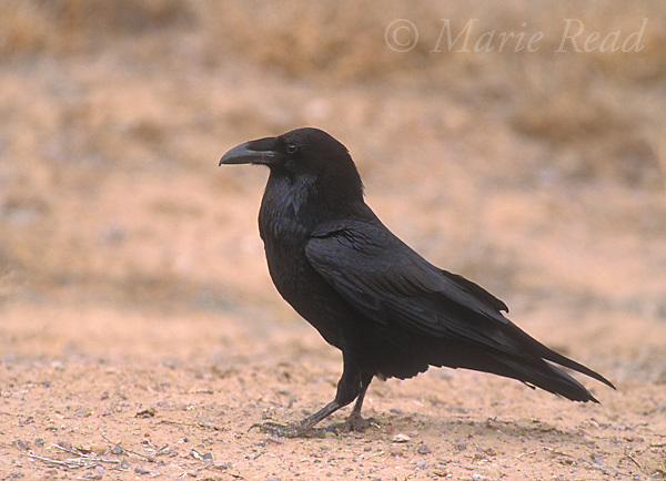 Common Raven (Corvus corax) adult, walking on the ground, Bosque Del Apache National Wildlife Refuge, New Mexico, USA<br />