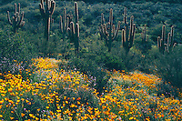 Mexican goldpoppy, Colter's lupine and saguaro<br />