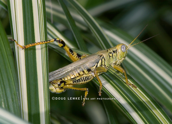 Differential Grasshopper Cautiously Watching From A Blade Of Large Grass, Melanoplus differentialis
