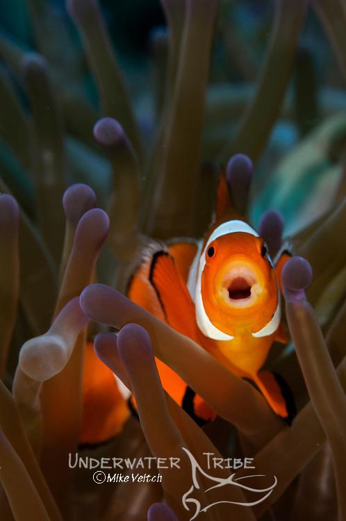 Yawning anemonefish, Amphiprion ocellaris, Raja Ampat, West Papua, Indonesia, Pacific Ocean