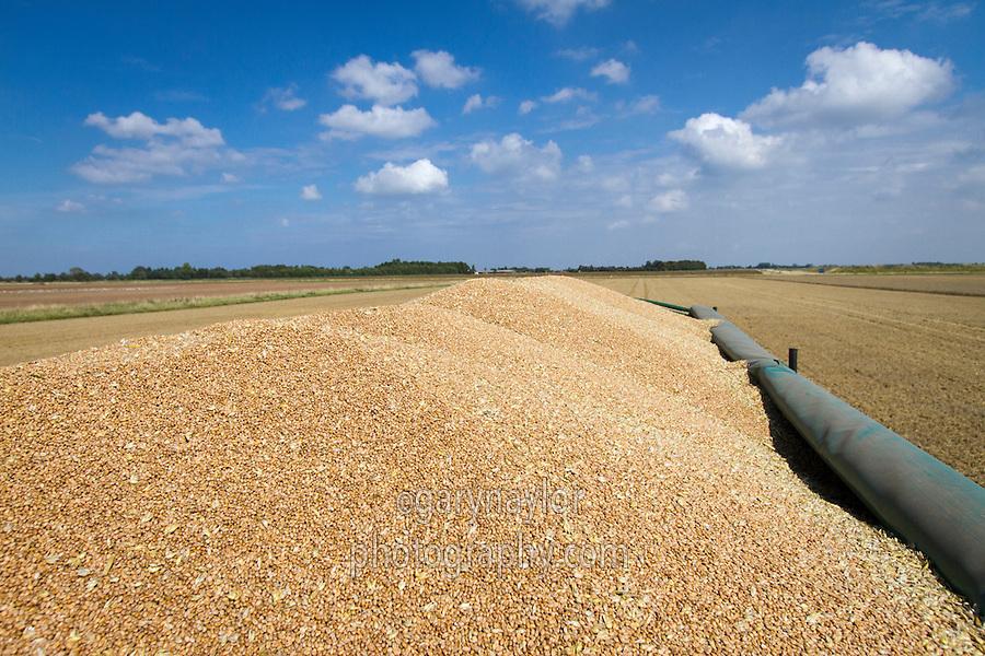 Full trailer of winter wheat - August