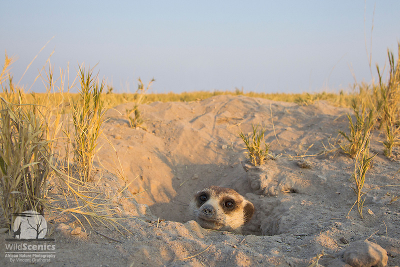 Meerkat peeping out of its burrow entrance.