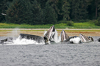 humpback whales, Megaptera novaeangliae, cooperatively bubble-net feeding, Tenakee Springs Inlet, Alaska, USA, Pacific Ocean