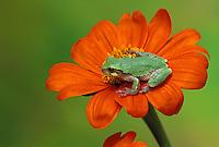 Grey tree frog perched on orange tithonia flower, Missouri USA