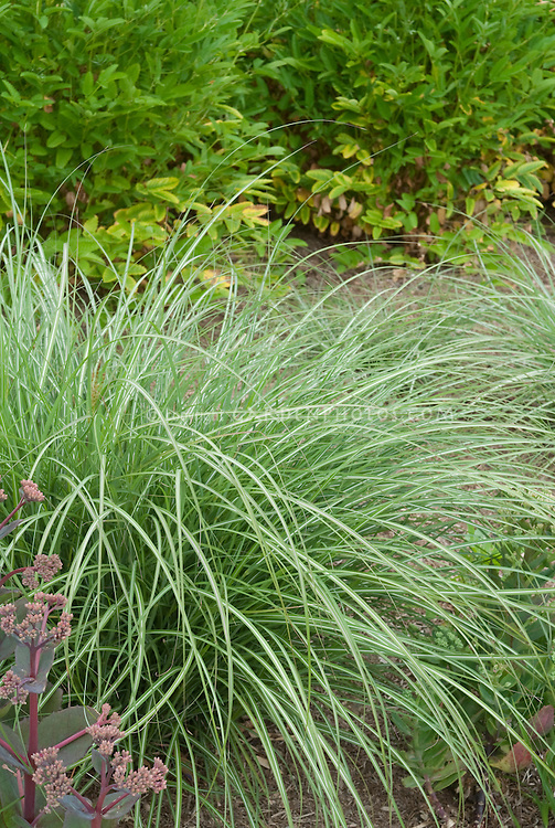 Miscanthus sinensis 39 yakushima dwarf 39 plant flower for Short variegated grass