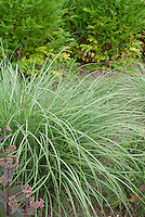 Ornamental Maiden Grass Miscanthus sinensis 'Yakushima Dwarf' showing plant habit size and height next to Sedum and bushes