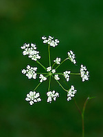 BURNET-SAXIFRAGE Pimpinella saxifraga (Apiaceae) Height to 70cm. Downy, branched perennial of dry, calcareous grassland. FLOWERS are white and borne in loose, open umbels (Jun-Sep). FRUITS are egg-shaped and ridged. LEAVES are 1-pinnate with oval leaflets at base of the plant; stem leaves are finely divided into narrow leaflets. STATUS-Widespread and locally common, but absent from NW Scotland.