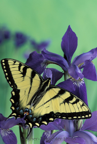 Tiger swallowtail, Pterourus glaucus, on a purple iris flower
