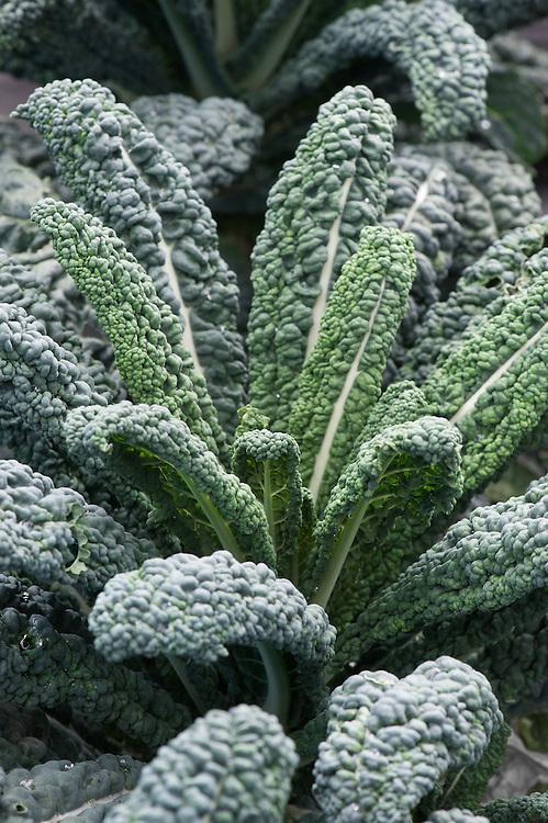Kale 'Toscana', early September.