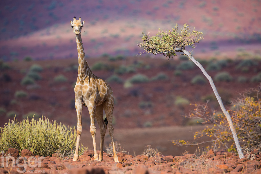 Giraffe in the red granite country near Palmwag, Namibia