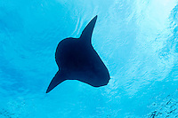 This distinctive silhouette belongs to the heaviest of all bony fish, an Ocean Sunfish, Mola mola. Banda Sea, Indonesia, Pacific Ocean